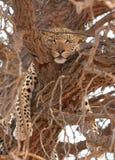 Leopardo (pardus del Panthera) que miente en el árbol Imagen de archivo libre de regalías