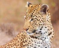 Leopardo (pardus del Panthera) que se sienta en sabana Imagen de archivo libre de regalías
