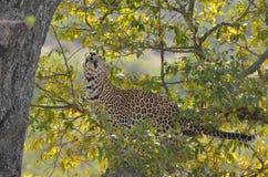 Leopardo (pardus della panthera) in albero Fotografie Stock