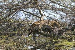 Leopardo (pardus do Panthera) Fotos de Stock