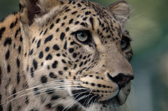 Leopardo (pardus do Panthera) Imagem de Stock
