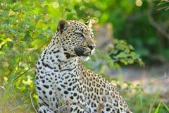 Leopardo pelo rio Imagem de Stock Royalty Free