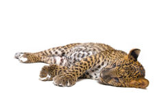 Leopardo pequeno Imagens de Stock