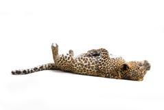 Leopardo pequeno Fotografia de Stock