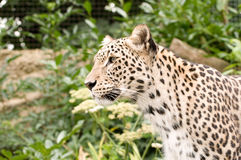 Leopardo persa imagen de archivo