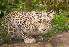 Leopardo persa fotografía de archivo libre de regalías