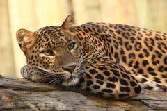 Leopardo persa Imagem de Stock Royalty Free