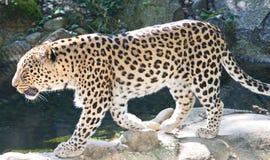 Leopardo persa 4 fotos de stock royalty free