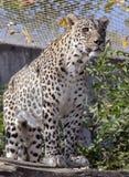 Leopardo persa Foto de archivo
