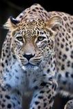 Leopardo persa do retrato, saxicolor do pardus do Panthera que senta-se em um ramo Fotos de Stock Royalty Free