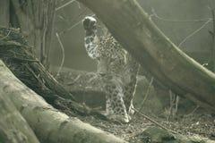Leopardo persa na natureza fotografia de stock