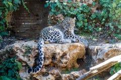Leopardo persa, parque zoológico bíblico de Jerusalén en Israel Fotografía de archivo
