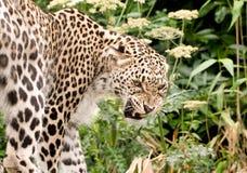Leopardo persa que gruñe imagen de archivo libre de regalías