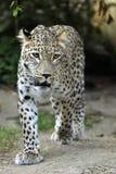 Leopardo persa (saxicolor do pardus do Panthera) imagem de stock royalty free