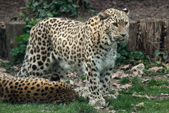Leopardo persa (saxicolor do pardus do Panthera) fotografia de stock