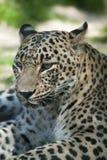 Leopardo persa (saxicolor do pardus do Panthera) foto de stock royalty free