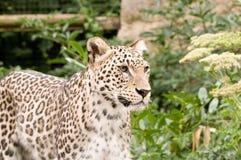 Leopardo persiano Immagini Stock