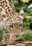 Leopardo persiano Fotografie Stock Libere da Diritti