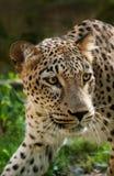 Leopardo persiano fotografie stock