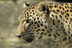 Leopardo persiano Immagini Stock Libere da Diritti