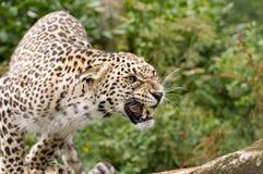 Leopardo persiano arrabbiato Fotografia Stock Libera da Diritti