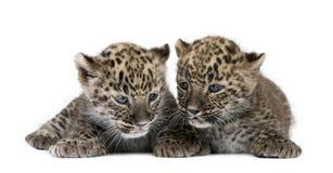 Leopardo persiano Cub (6 settimane) Immagini Stock Libere da Diritti