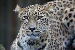 Leopardo persiano del ritratto, saxicolor di pardus della panthera che si siede su un ramo Immagine Stock