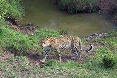Leopardo por el barranco Fotos de archivo libres de regalías
