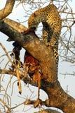 Leopardo pranzante Fotografia Stock Libera da Diritti