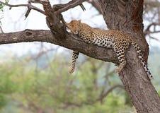 Leopardo preguiçoso Fotos de Stock Royalty Free