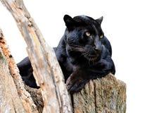 Leopardo preto Fotos de Stock Royalty Free