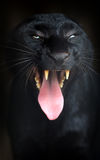 Leopardo preto Fotos de Stock