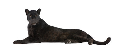 Leopardo preto (6 anos) Imagem de Stock Royalty Free