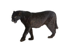 Leopardo preto (6 anos) Imagem de Stock