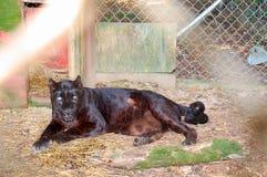 Leopardo preto Imagens de Stock