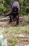 Leopardo preto ereto Fotos de Stock