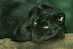 Leopardo preto, pantera Fotografia de Stock