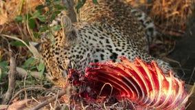 Leopardo que alimenta em sua rapina video estoque