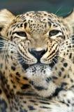Leopardo que amenaza Fotos de archivo libres de regalías