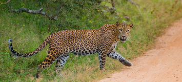 Leopardo que anda na estrada Sri Lanka Foto de Stock