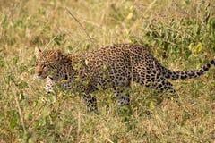 Leopardo que anda na grama Fotos de Stock Royalty Free