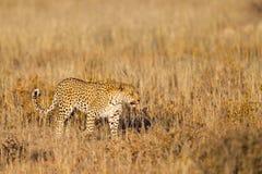 Leopardo que anda na grama Fotos de Stock