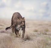 Leopardo que anda na grama imagem de stock royalty free