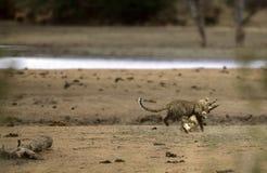 Leopardo que ataca un cocodrilo en Kruger, África Imagen de archivo