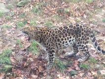 Leopardo que boceja Imagens de Stock