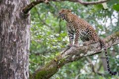 Leopardo que bosteza Fotografía de archivo