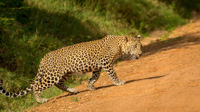 Leopardo que camina agraciado en el camino arenoso anaranjado Foto de archivo