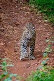 Leopardo que camina en bosque Fotografía de archivo libre de regalías