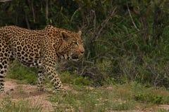 Leopardo que camina en el cepillo Imagen de archivo libre de regalías