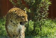 Leopardo que camina en hierba Foto de archivo libre de regalías